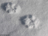 Fox and Coyote tracks, scat and signs
