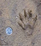 Raccoon (Procyon lotor)  track, front foot