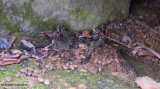 Porcupine scat at den entrance