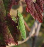 Leafhopper (Draeculacephala zeae)