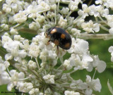 Ladybeetle (Brachiacantha sp.)