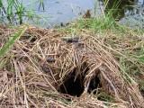 Otter or mink scat