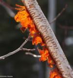 Porcupine chewed birch