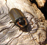 Fireflies (Lampyridae)