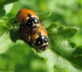 Variegated ladybeetles (Hippodamia variegata)