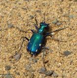 Six-spotted tiger beetle (Cicindela sexgutatta)