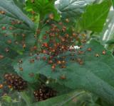 Spiderlings:  Garden cross orb weavers