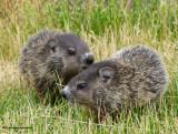 Groundhogs (Marmota monax)
