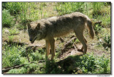 wolf-10214-sm.JPG