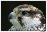 falcon-10191-sm.JPG