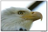 eagle-10203-sm.JPG