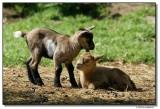 goats-10185-sm.JPG