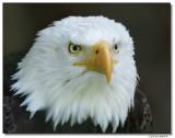 eagle-10201-sm.JPG