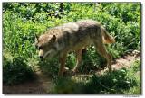 wolf-10209-sm.JPG