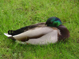duck1325.JPG