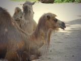 camel1340.JPG