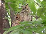 owl1301.JPG