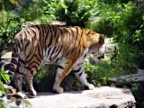 tiger1397-sm.JPG