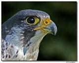 falcon2crop-4802-sm.jpg