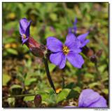 purple-2068-sm.JPG
