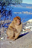 Macaque