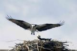 Nesting Pair of Osprey Feeding near Boulder, CO