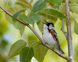 Paruline �Eflancs marron / Chestnut-sided Warbler