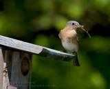 Merlebleu de l'Est ( fem ) / Eastern Bluebird ( fem )