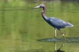 Aigrette Bleue / Little Blue Heron