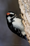 Pic Chevelu / Hairy Woodpecker