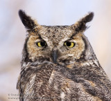 Grand-duc d'Amérique / Great horned Owl