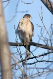Épervier de Cooper  / Cooper's Hawk