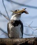 Martin-pêcheur d'Amérique / Belted Kingfisher
