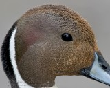 Canard Pilet / Northern Pintail