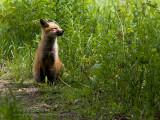 Renard roux (juv) / Red fox (juv)