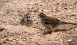 Lark Sparrows