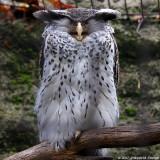 Grand Duc du Népal - Forest Eagle-Owl