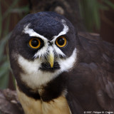 Chouette à lunettes - Spectacled Owl
