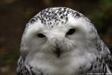 Harfang des neiges - Snow Owl