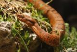 Vipère aspic - Asp viper