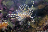 Rascasse volante - Red lionfish