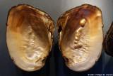 Coquille de moule perlière Cockscomb