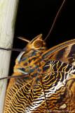 Papillon hibou - Owl butterfly (detail)