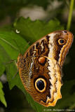 Papillon hibou - Owl butterfly