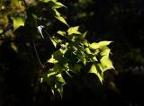 Backlit Liquidamber leaves