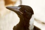 Adolescent Australian Magpie