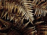 Bronze fronds