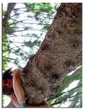 Tree Hugger SP