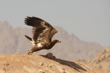 Sinai Raptors - Rapaci del Sinai - 2009