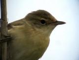 Rörsångare European Reed Warbler  Acrocephalus scirpaceus